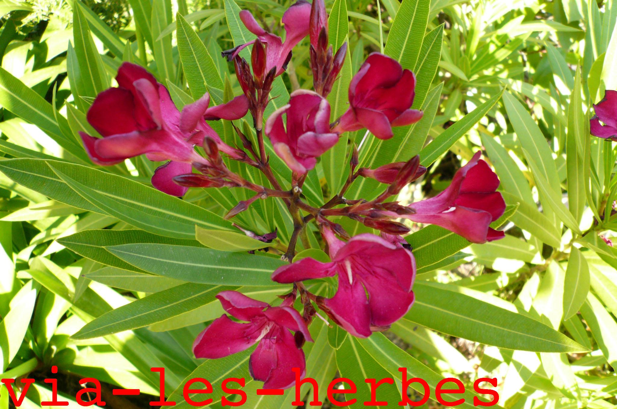 Le laurier rose plante tr s toxique via les herbes for Quand rempoter un laurier rose