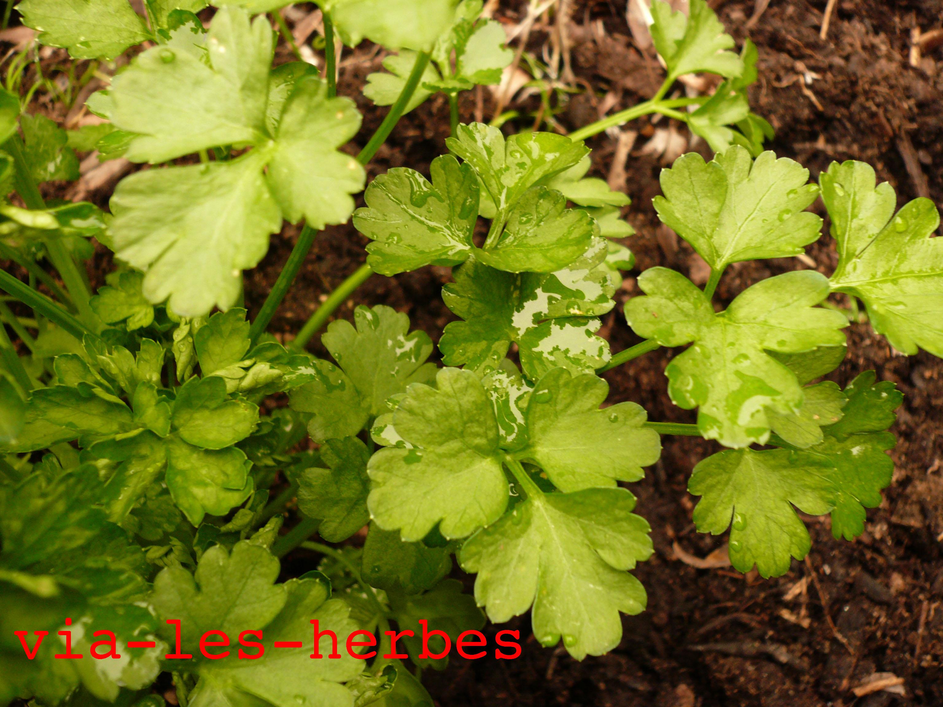 Les plantes de la famille des Apiacées | Via-les-herbes