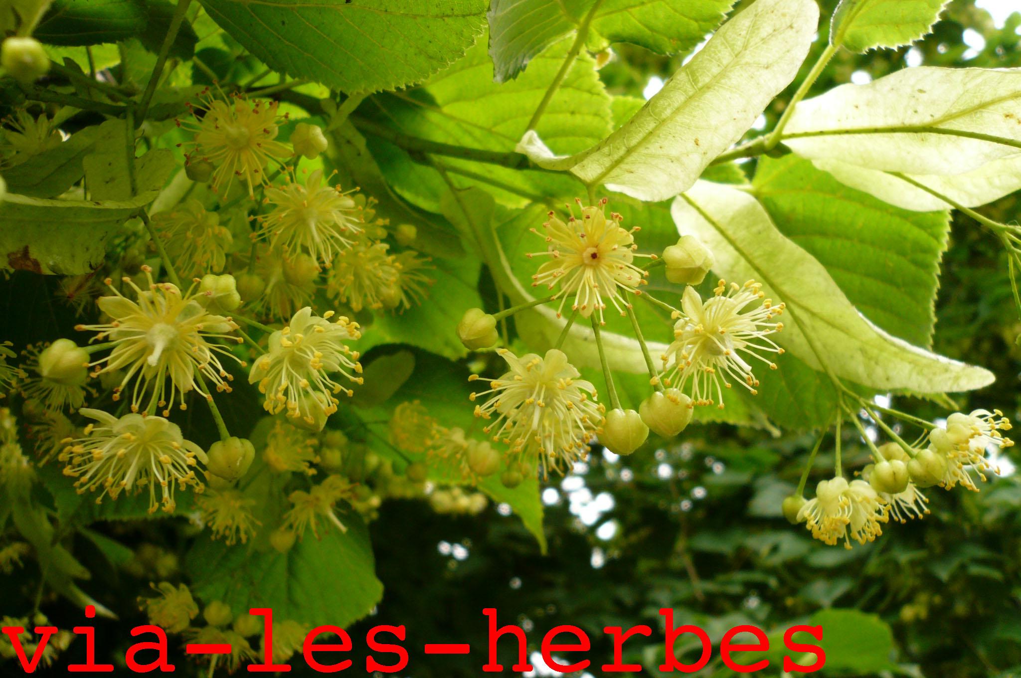 Le tilleul s datif calmant f brifuge et sudorifique via les herbes - Tilleul a grandes feuilles ...