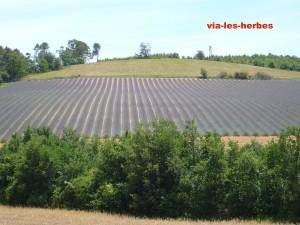 champ de lavande