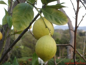 Citrons les pins penches