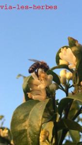 Citonnier et abeille