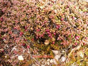 airelle rouge du mont ida Vaccinium vitis-idaea 3