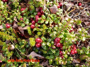 airelle rouge vigne du Mont Ida