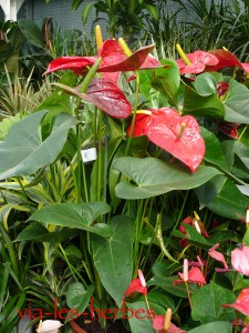 anthurium,flamant rose