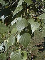 bouleau feuilles