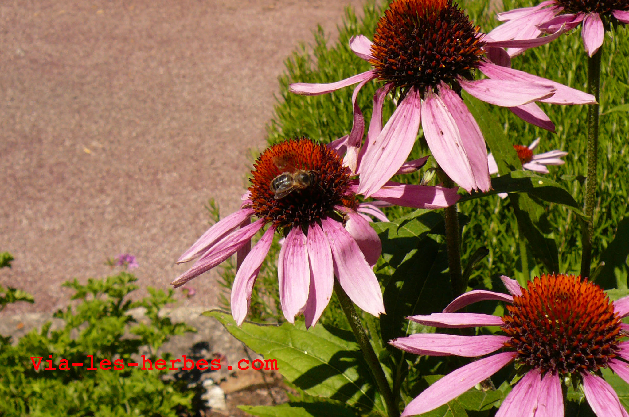 echinacea a genitális szemölcsöknél)