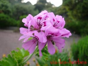 fleur de geranium rosat