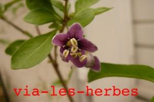 fleur de goji