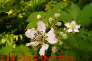 fleur de murier sauvage