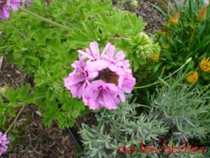 fleur geranium rosat