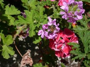 geranium rosat abeille 2