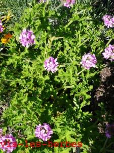 geranium rosat fleurs