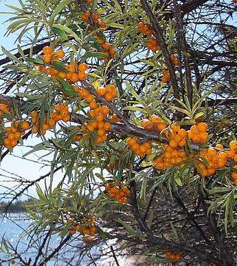 Le fruit de l argousier puissant anti oxydant naturel - Anti herbe puissant ...