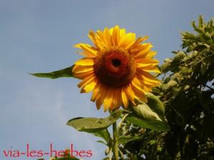 Fleur de tournesol
