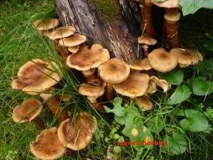 champignons chene