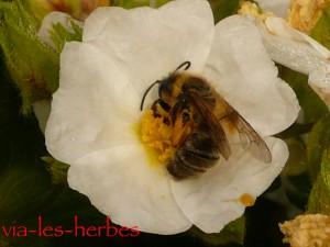 ciste et abeille 2