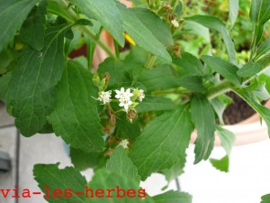 fleurs-de-stevia