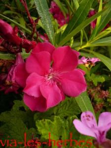 Fleurs de laurier-rose