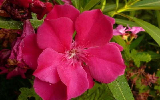 Toxique via les herbes - Laurier rose feuilles seches ...