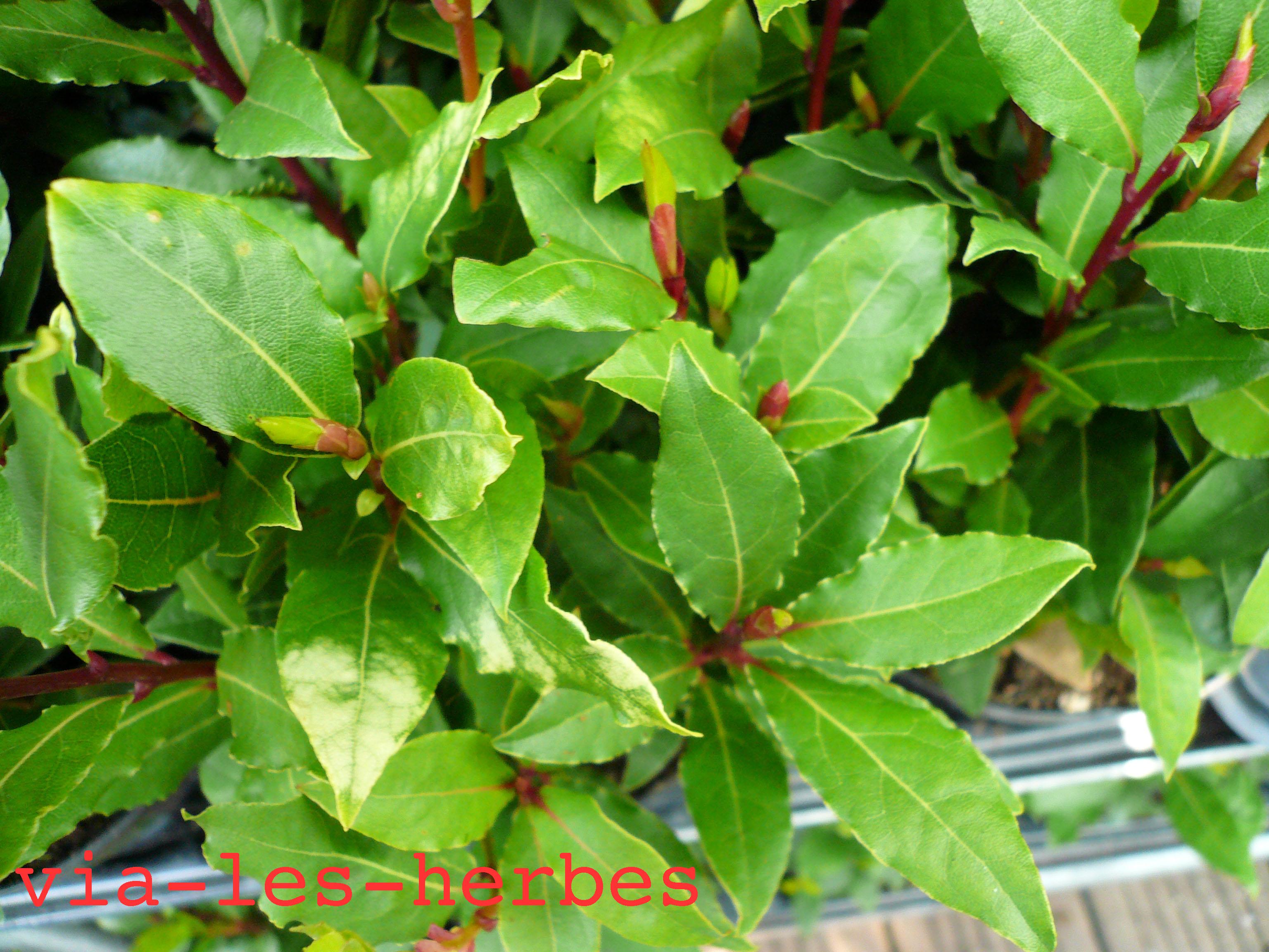 Le laurier rose plante tr s toxique via les herbes - Laurier rose feuilles seches ...