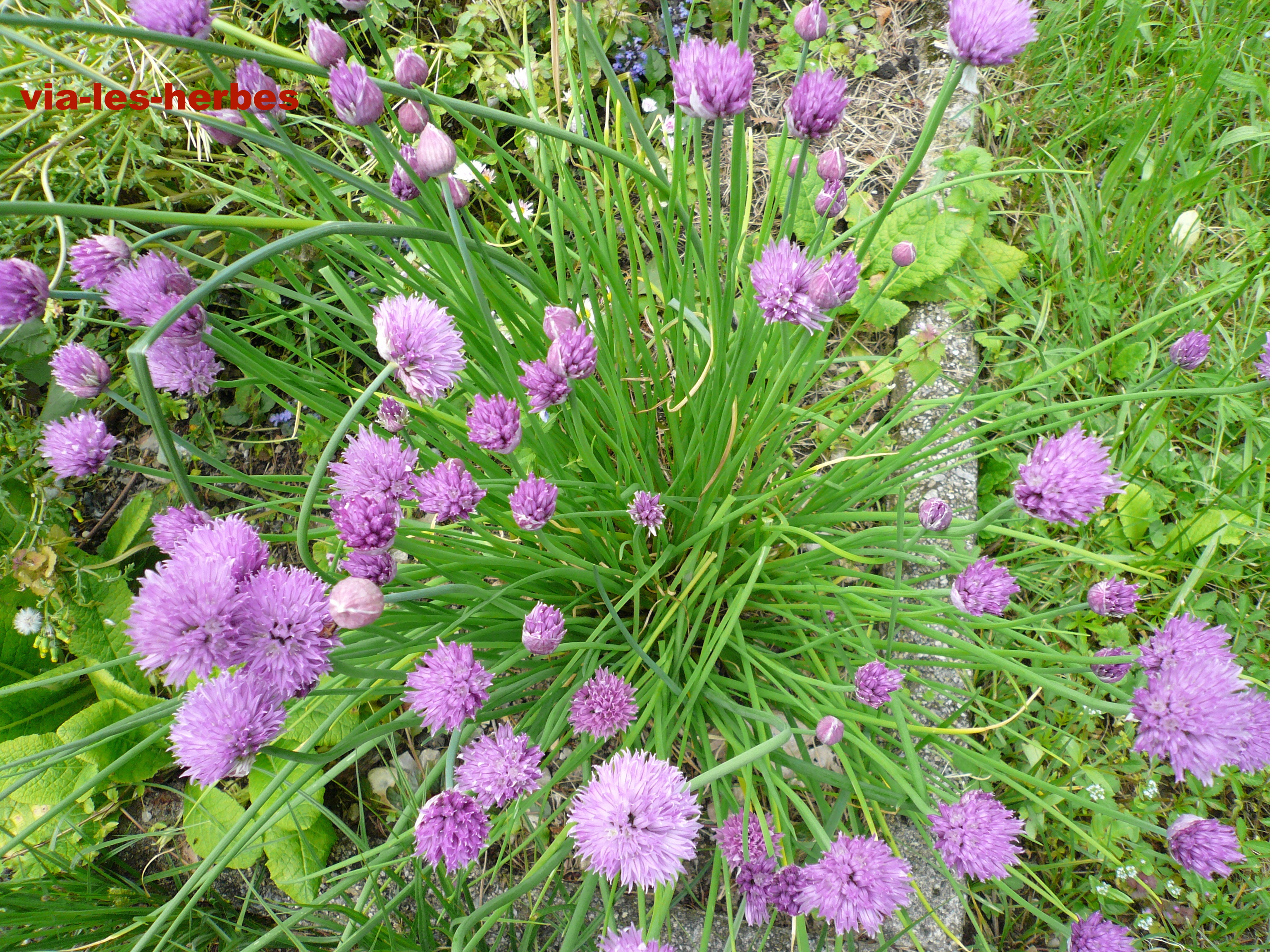 Plantes Aromatiques Sur Terrasse les plantes aromatiques: un atout pour la santé | via-les-herbes