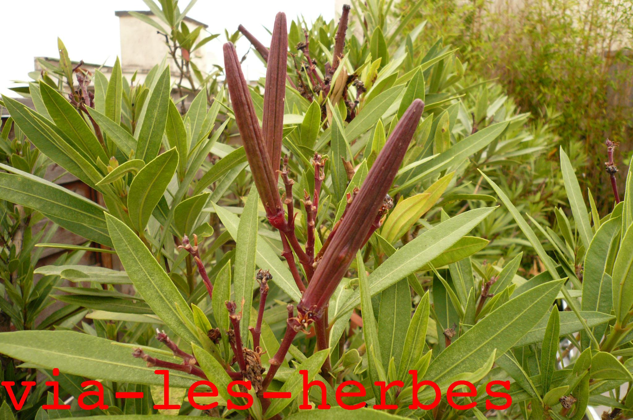 Le laurier rose plante tr s toxique via les herbes - Maladie laurier rose feuilles seches ...