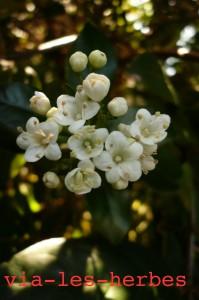 Fleur de laurier-tin