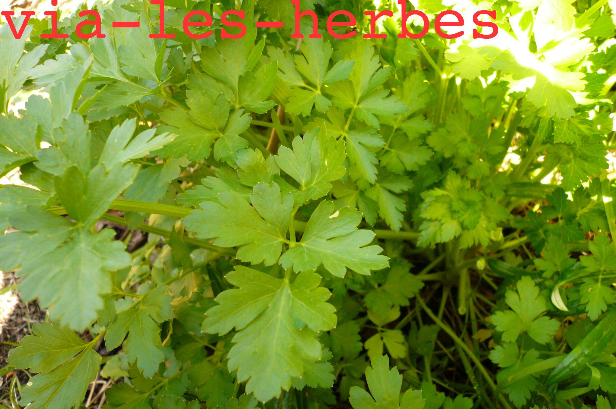 Le persil, première plante condimentaire | Via-les-herbes