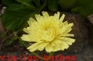 Picris fausse eperviere