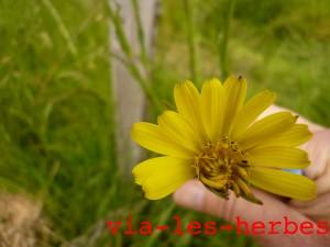 Salsifi des pres, tragopogon pratensis liguliflore