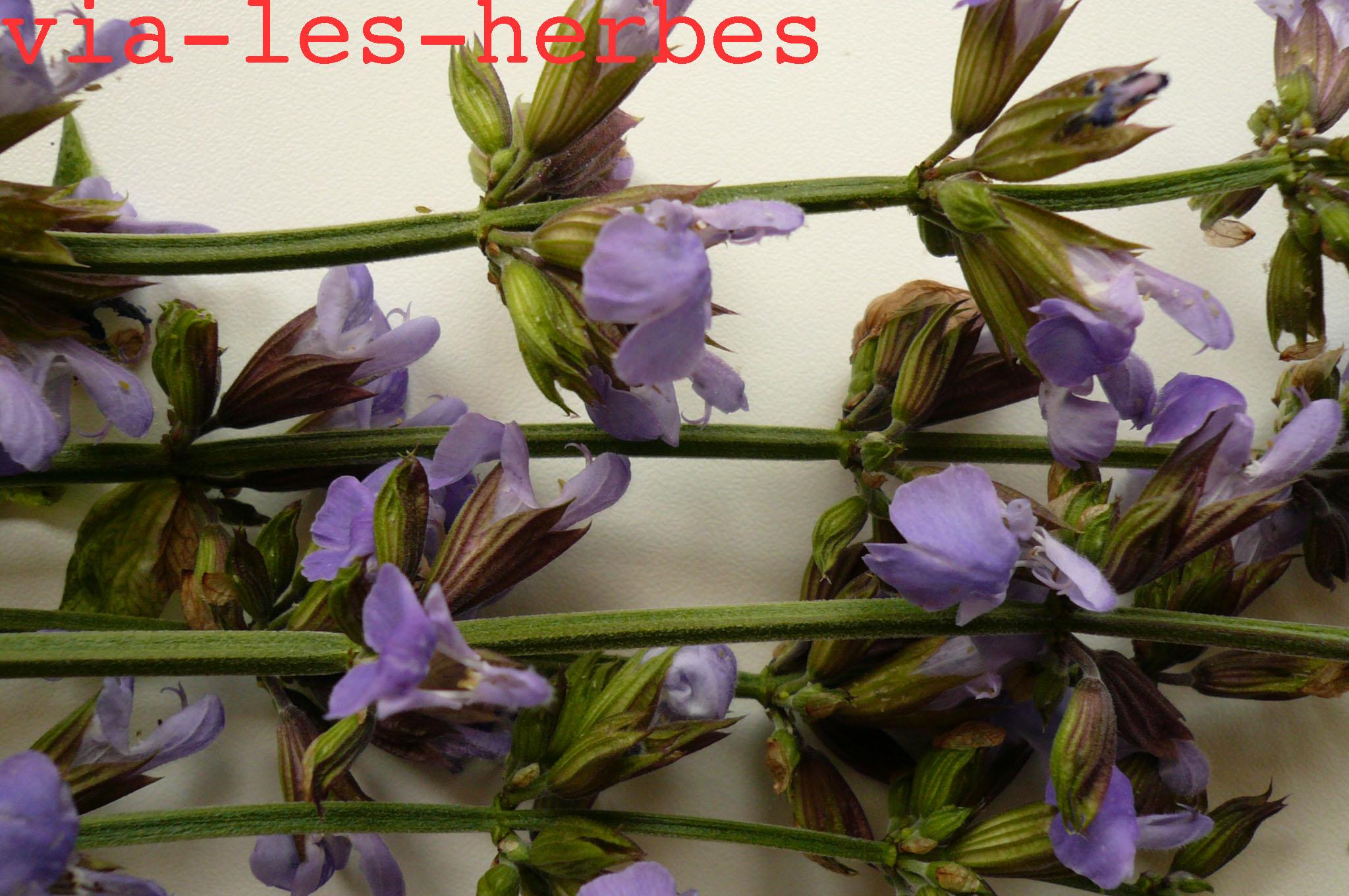 fleurs de sauge utilisation