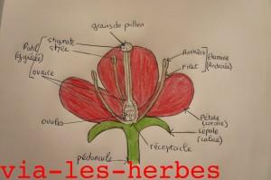schema d'une fleur