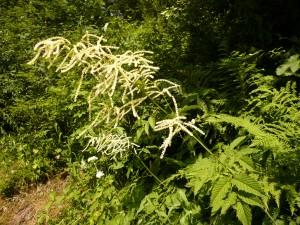 spiree sylvestre, Barbe-de -Bouc Aruncus dioicus Rosacees