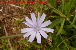 fleur chicoree 1