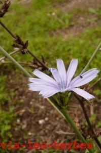 fleur chicoree