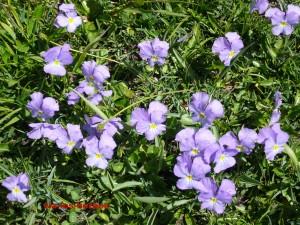 pensee du Mont Cenis Viola cenisia Violacees 5