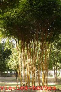 Bambous, Bimanie 2013