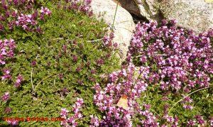 Thym fibreux Thymus nervosus Lamiacees. 2