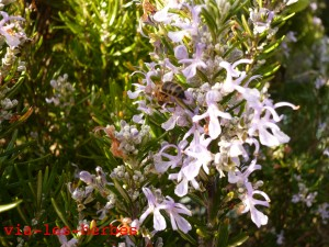 abeille et romarin