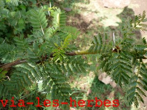 acacia Tansanie