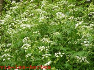 cerfeuil penche, Chaerophyllum temulum Apiacees