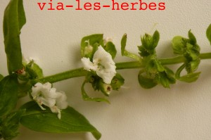 fleur de basilic