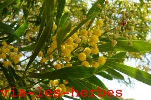 mimosa acacia 1