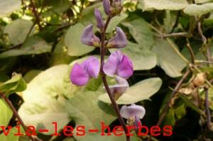 pois cultive