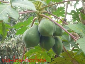 Papayer vietnam
