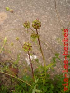 Pimprenelle, fleurs