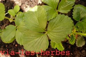 feuilles de fraisier