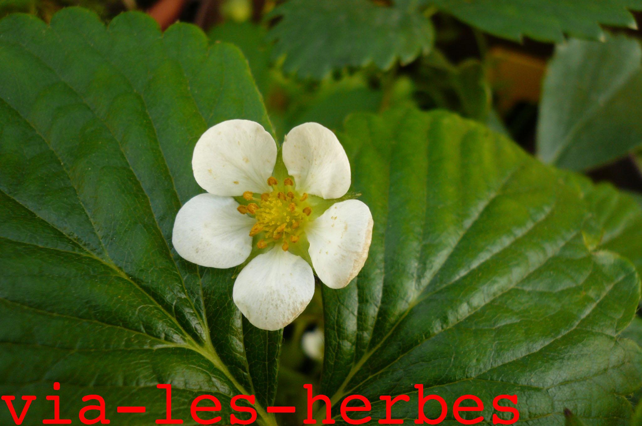 Les Plantes De La Famille Des Rosacees Via Les Herbes