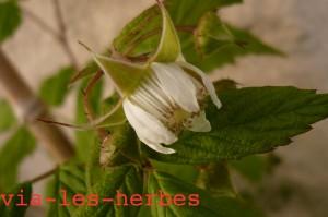 fleur de framboisier